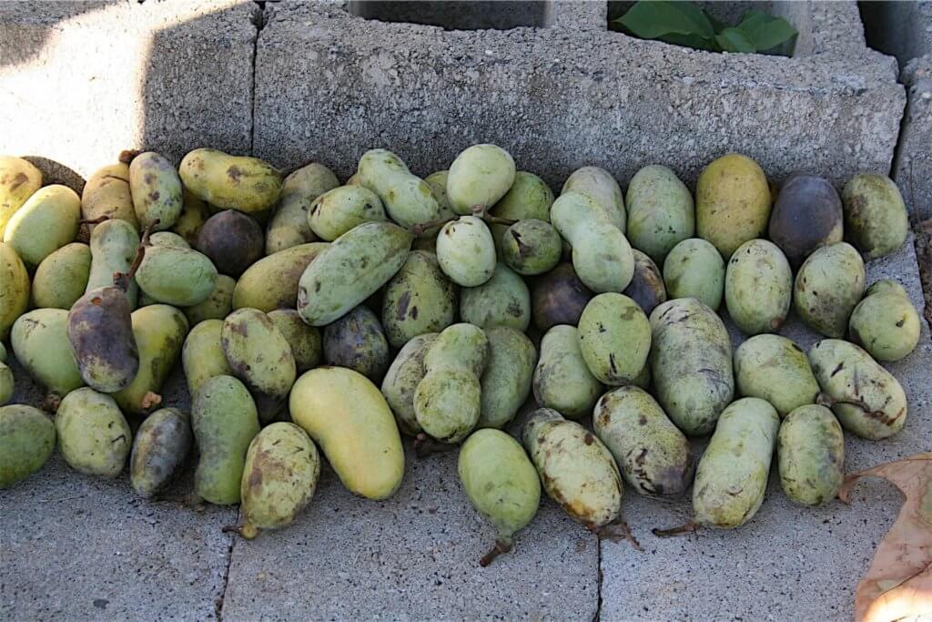 A pile of pawpaws.