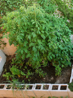 Another garden update! Every time I pass by those cinder blocks, I brush my hand over the basil leaves or the tomato vines or the oregano plant, and in just that quick motion, the smells from the leaves get trapped in my palms — it's amazing. // alexandracooks.com