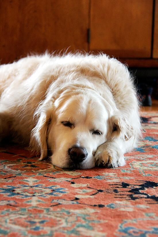 Ajax, a golden retriever, napping.