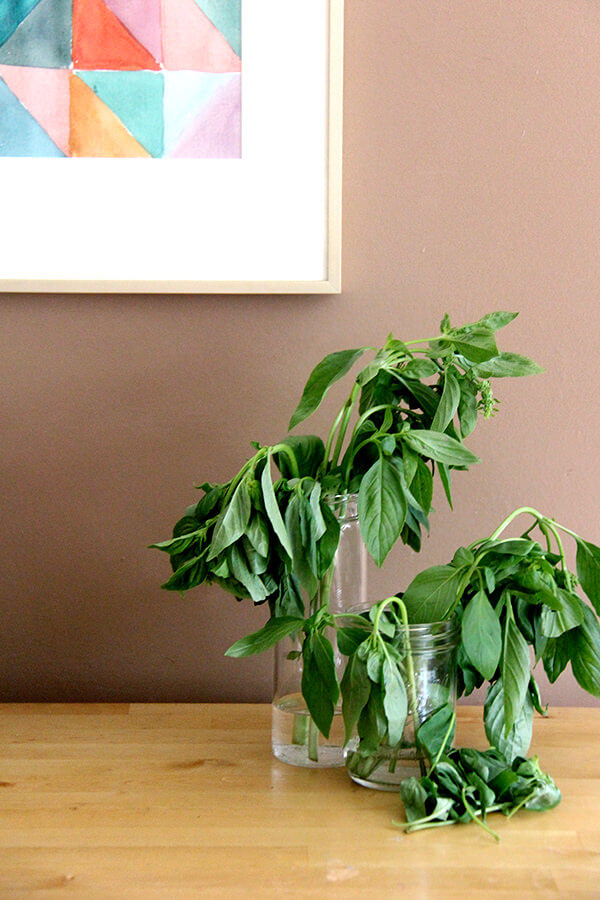wilting basil