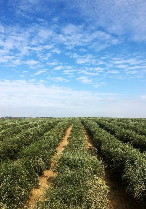 I visited California Olive Ranch in early November, right at the start of their six-week olive harvest. In addition to visiting an olive grove and riding on an olive harvester, I toured the mill, all of which—from seeing the sea of olive trees to the farm of massive olive oil-filled tanks—was mind boggling. // alexandracooks.com