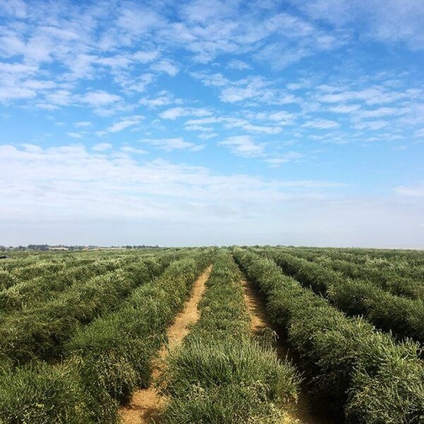 2017 California Olive Harvest {Videos} with California Olive Ranch